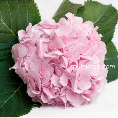 Гортензия Верена Пинк | Hydrangea Verena Pink