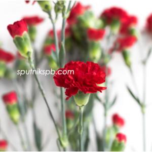 Гвоздика кустовая Арагон | Aragon Carnation