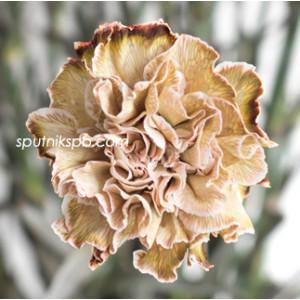 Гвоздика одноголовая окрашенная Карамель | Caramel Carnation