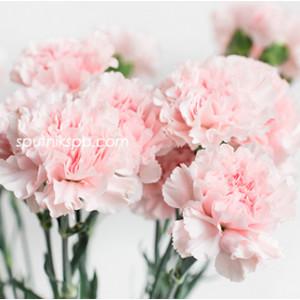 Гвоздика одноголовая Донсел | Doncel Carnation