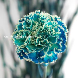 Гвоздика одноголовая окрашенная Оушен Блю | Ocean Blue Carnation