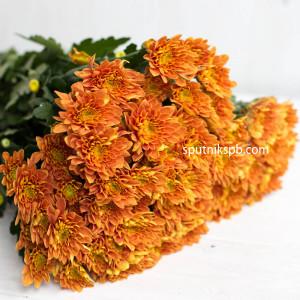 Хризантема кустовая Bartoli