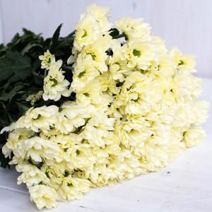 Хризантема кустовая Proseka
