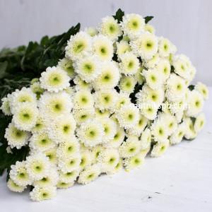 Хризантема SAN FLEURELLES WHITE