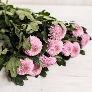 Хризантема розовая одноголовая Momoko оптом на сайте Спутник
