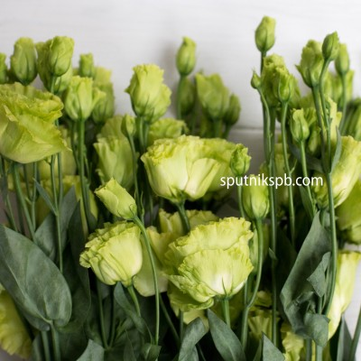 Лизиантус зеленый Double Green