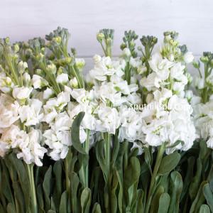 Матиола белая
