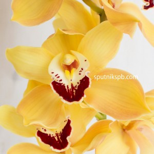 Орхидея желтая | Yellow Orchid