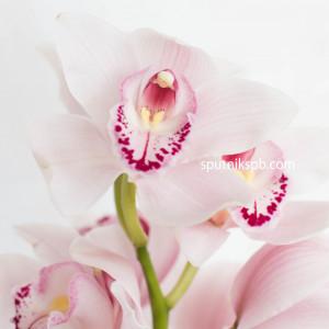 Орхидея нежно-розовая