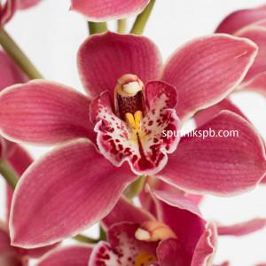 Орхидея Cymbidium Crimson