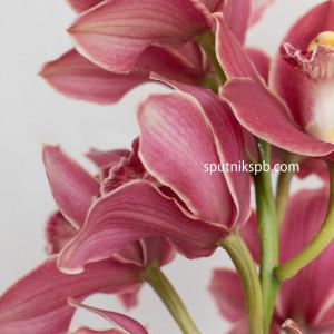 Орхидея Цимбидиум | Cymbidium Crimson Orchid