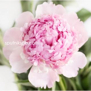 Оптовая цветочная база «Спутник»: купить пионы Angel Cheeks оптом