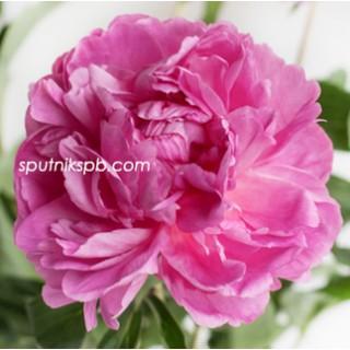 Оптовая цветочная база «Спутник»: купить пионы Bunker Hill оптом