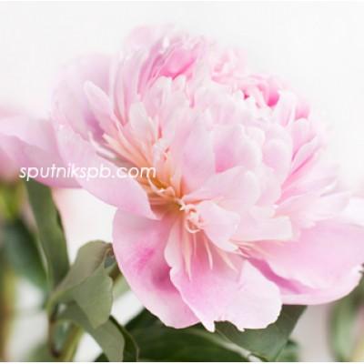 Оптовая цветочная база «Спутник»: купить пионы Catharina Fontijn оптом