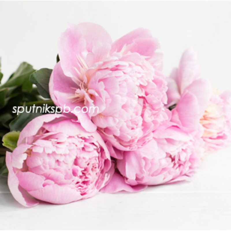 Купить розовые пионы оптом в СПб