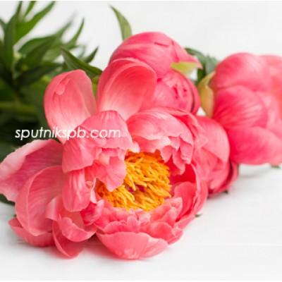 Оптовая цветочная база «Спутник»: купить пионы Coral Charm оптом