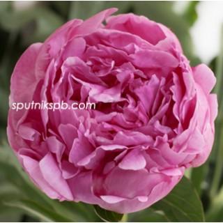 Оптовая цветочная база «Спутник»: купить пионы Dr Alexander Fleming оптом