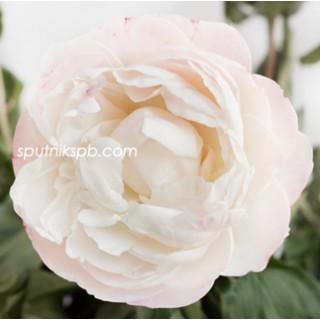 Оптовая цветочная база «Спутник»: купить пионы Gardenia оптом