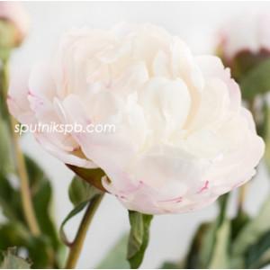 Пион Гардения | Paeonia Gardenia