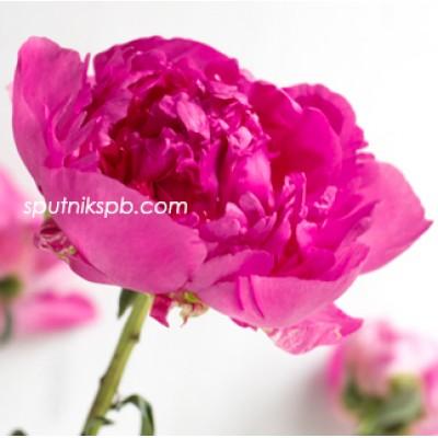 Оптовая цветочная база «Спутник»: купить пионы Glory Hallelujah оптом