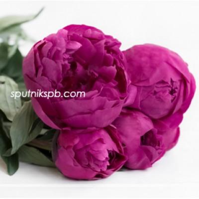 Оптовая цветочная база «Спутник»: купить пионы Kansas оптом