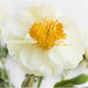 Пион Лемон Шифон   Lemon Chiffon Paeonia