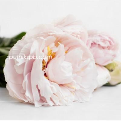Оптовая цветочная база «Спутник»: купить пионы Linda Rose оптом