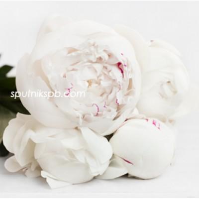 Оптовая цветочная база «Спутник»: купить пионы Odile оптом