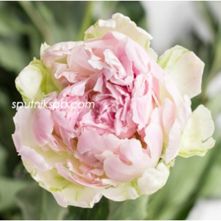 Оптовая цветочная база «Спутник»: купить пион Pink Giant оптом