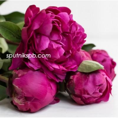 Оптовая цветочная база «Спутник»: купить пионы Red Sarah Bernhardt оптом