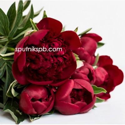 Оптовая цветочная база «Спутник»: купить пионы Red Sharm оптом