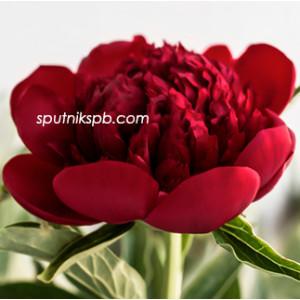 Пион Ред Шарм | Red Charm Paeonia