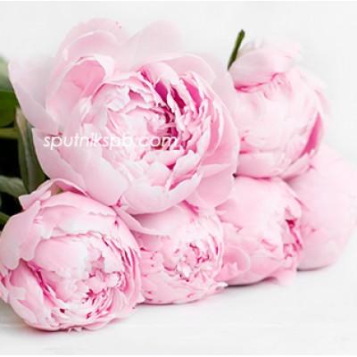 Оптовая цветочная база «Спутник»: купить пионы Sarah Bernhardt оптом
