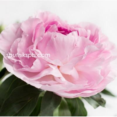 Оптовая цветочная база «Спутник»: купить пионы Sweet 16 оптом