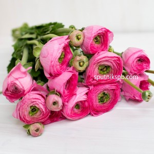 Ранункулюс Hot Pink