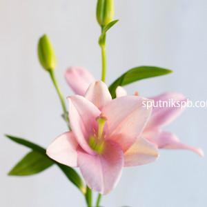 Лилия азиатка розовая