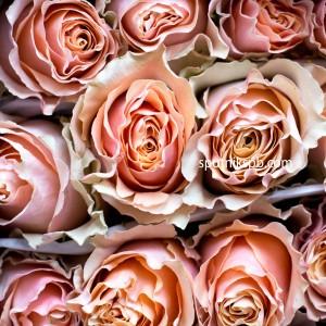 Роза Carpe-diem