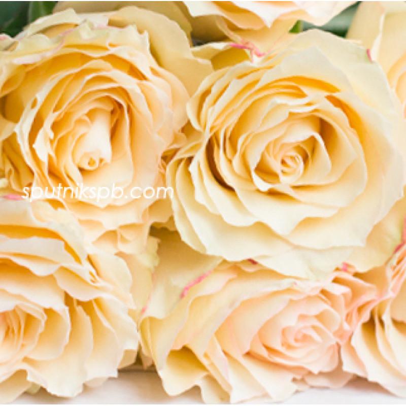 Роза Cream Esperance