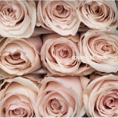 Роза Emely