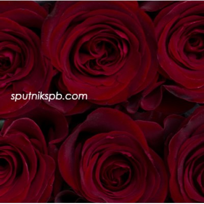 Роза Fortune