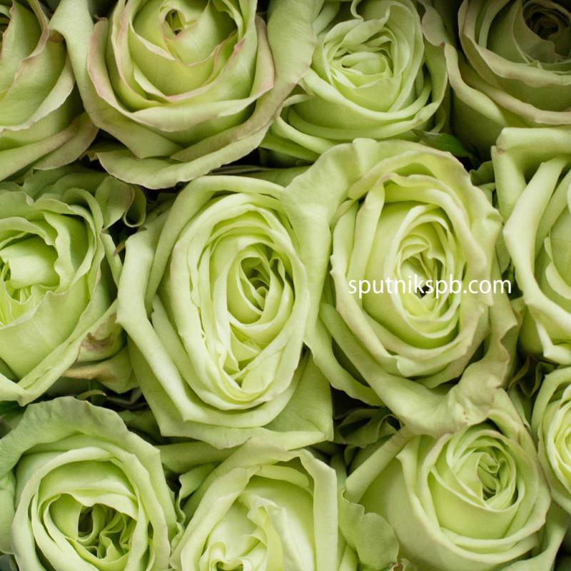 Роза Green Tea