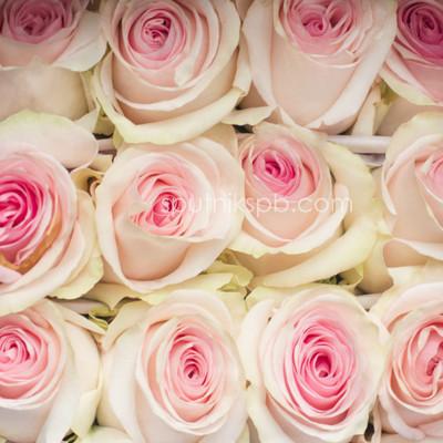 Роза Lorreine
