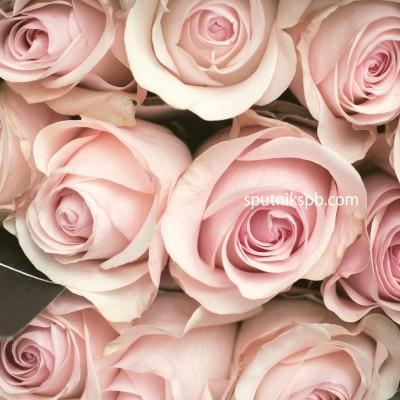 Роза Novia