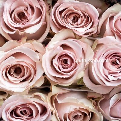 Роза Quicksand