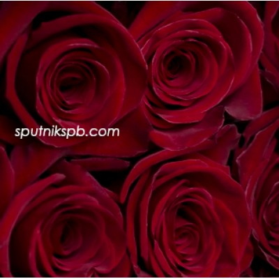 Роза Rubi