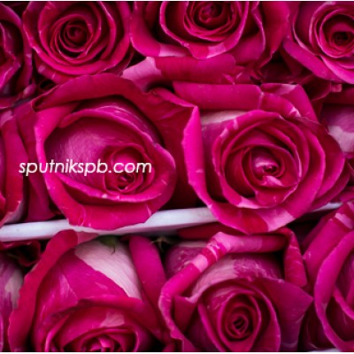 Роза Wild Topaz
