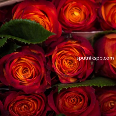 Роза Atomic