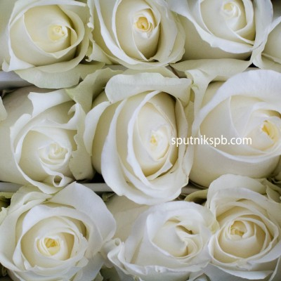 Роза Blizzard