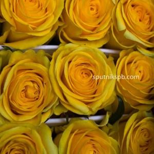 Роза Brighton
