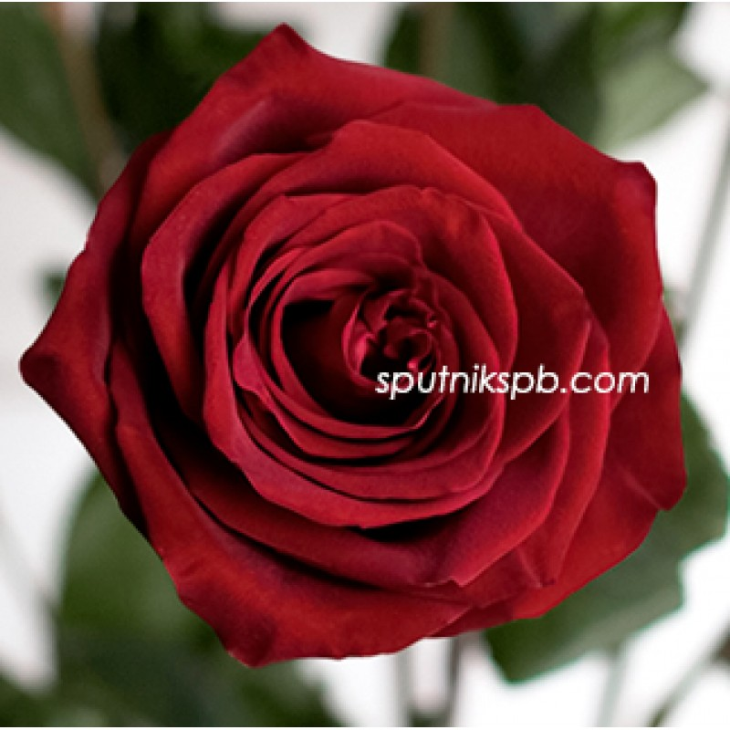 Купить шикарные красные розы в Спб, розы Эксплорер